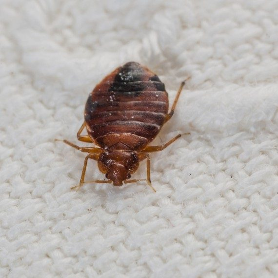 Bed Bugs, Pest Control in Carshalton, Carshalton Beeches, SM5. Call Now! 020 8166 9746