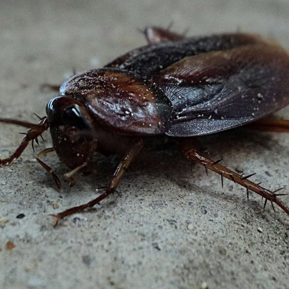 Cockroaches, Pest Control in Carshalton, Carshalton Beeches, SM5. Call Now! 020 8166 9746