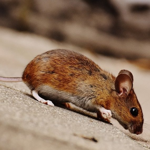 Mice, Pest Control in Carshalton, Carshalton Beeches, SM5. Call Now! 020 8166 9746