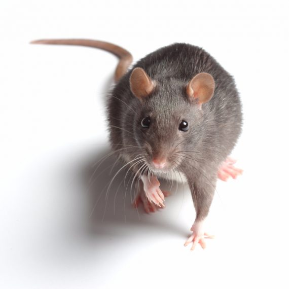 Rats, Pest Control in Carshalton, Carshalton Beeches, SM5. Call Now! 020 8166 9746
