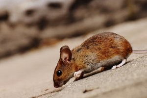 Mouse extermination, Pest Control in Carshalton, Carshalton Beeches, SM5. Call Now 020 8166 9746