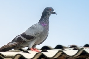 Pigeon Control, Pest Control in Carshalton, Carshalton Beeches, SM5. Call Now 020 8166 9746