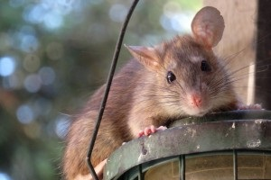 Rat extermination, Pest Control in Carshalton, Carshalton Beeches, SM5. Call Now 020 8166 9746
